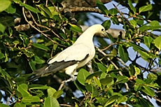 Pied Imperial Pigeon, Симиланы