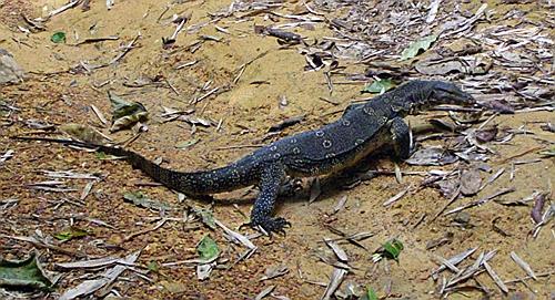 Varan (monitor lizard), NP Khao Sok