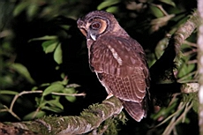 Brown Wood Owl (Strix leptogrammica), Khao Sok