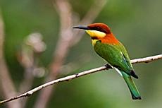 Chestnut-headed Bee-eater (Merops leschenaulti)