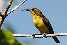 Female Olive-backed Sunbird (Cinnyris jugularis)