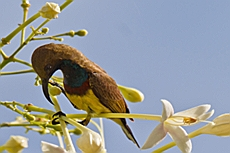 Male Olive-backed Sunbird (Cinnyris jugularis)