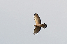 Grey-faced Buzzard (Butastur indicus)