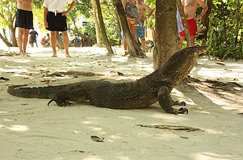 Monitor lizard, Ko Hong, Krabi